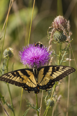 apis: A Tiger Swallowtail Butterfly (Papilio glaucus) and a Honey Bee  (Apis mellifera) sharing nector from a wild thistle flower.