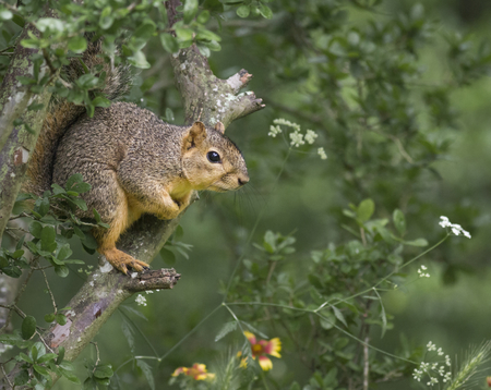 A Fox Squirrel   (Sciurus niger) sits in a tree watching the birds at a bird feeder.  Reklamní fotografie
