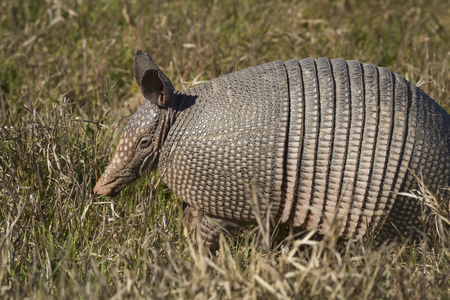 A Texas Armadillo (Dasypus novemcinctus) searching for food in a field. Stock Photo
