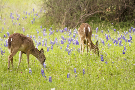 A pair of young White-tailed deer (Odocoileus virginianus) feed on Texas Bluebonnets (Lupinus texensi). Stock Photo