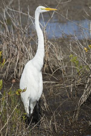 A White Heron (Ardea alba) stands tall in the shallow waters of a pond. Stock Photo