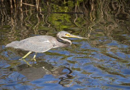 wading: A young Tricolored Heron  (Egretta tricolor) on the prowl for food.