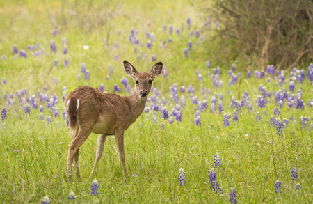 A toung White-tailed deer (Odocoileus virginianus) walkes through a field of Texas Bluebonnets (Lupinus texensi).