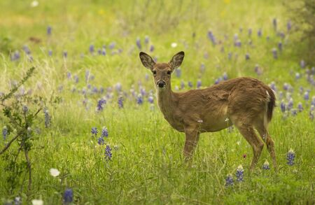 A young whitetail deer (Odocoileus virginianus) stands in a field of Bluebonnets and other wildflowers in the Texas Hill Country.