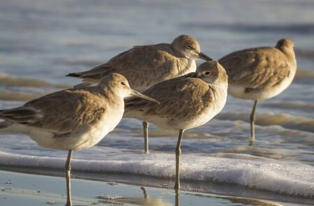 A group of Willets (Tringa semipalmata) resting in the morning sun as waves from the Atlantic Ocean comes ashore.