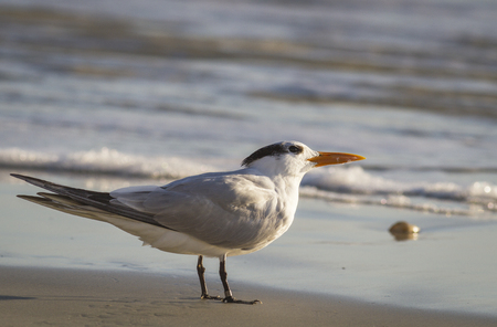 A sunlite Royal Tern (Thalasseus maximus) with a leg identification band, stands in the surf as the waves come in.  Stock Photo