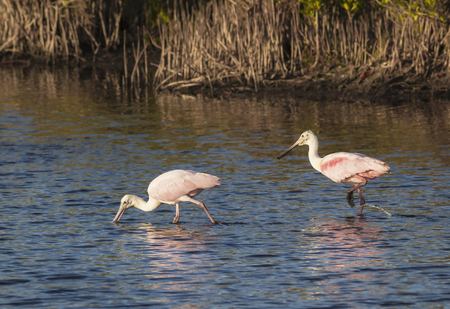 Two Roseate Spoonbills (Platalea ajaja) feed in the shallow waters of a Florida mangrove swamp.