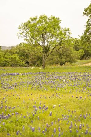 A landscape image of a Texas Hill Country field full of Bluebinnets  and other Texas Wildflowers on a cloudy day.