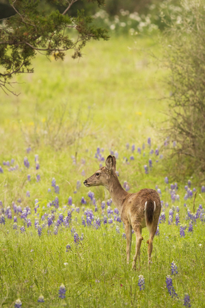 A young Whitetailed deer (Odocoileus virginianus) standing in a field of Texas Bluebonnets.