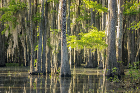 A landscape view of a grove of Bald Cypress Tress  (Taxodium distichum) covered with Spanish moss in a shallow inlet at Lake Caddo in East Texas..