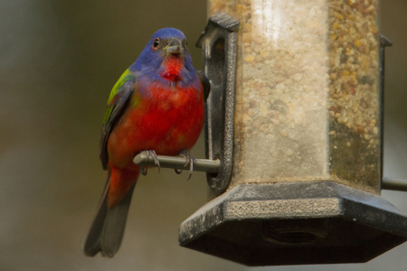 A male Painted Bunting (Passerina ciris)  grabs some seed from a birdfeeder in the Texas Hill Country near Driftwood.