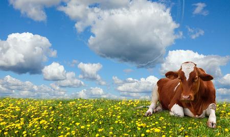bullock animal: Calf grazing in a green field. Stock Photo