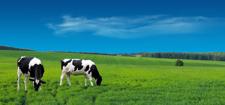 Farm cows grazing in a summer meadow. Stock Photo - 60138758