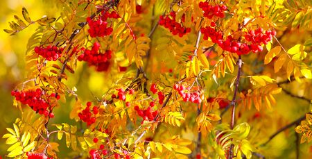 Bush of ripe Rowan in the fall. Stock Photo