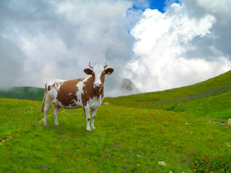 milker: Dairy cow grazing on the hills.