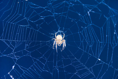 An insect spider waiting for its prey on a cobweb