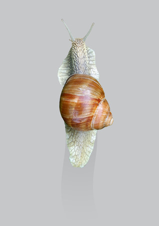 The grape snail crawls on the glass. Stock Photo