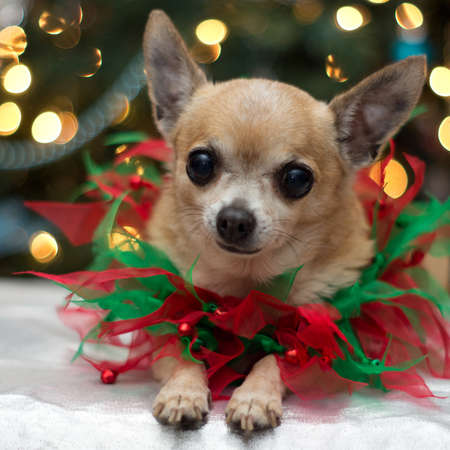 Chihuahua dressed for Christmas in bows in front of Christmas tree