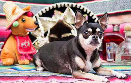 Cinco De Mayco Mexican Chihuahua Celebrating with Friends