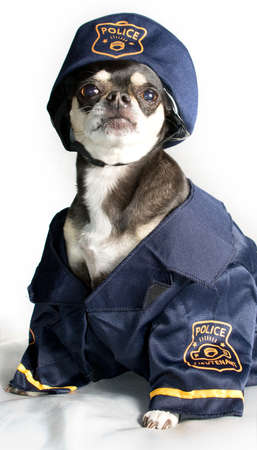 Chihuahua Dressed as Police Officer Stock Photo - 13168120