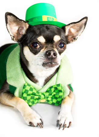 st patrick s day: St  Patrick s Day Chihuahua Dressed as Leprechaun