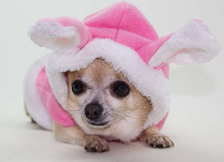 Tiny chihuahua dressed in pink easter bunny outfit