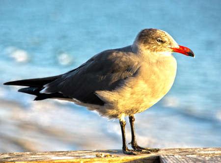 Profiel bekijken van zeemeeuw genomen op Seal Beach. Californië