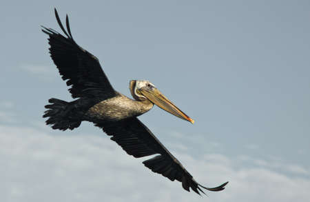 Pelican in flight. Photo taken at Bolsa Chica Wetlands, Ecological Reserve in Huntington Beach, California