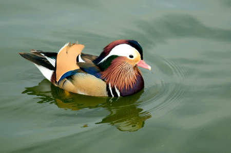 The Mandarin Duck is a beautiful colorful water bird. Photo taken at Goldwnwest Park in Huntington Beach, California Stock Photo