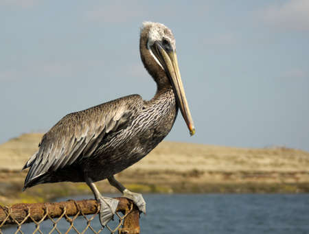 chica: Close up profile view of Brown Pelican at Bolsa Chica Wetlands, Ecological Reserve in Huntington Beach, California Stock Photo