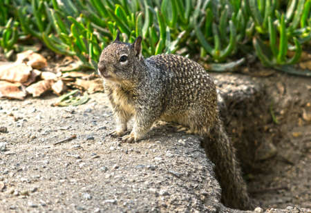 Ground squirrel looking for food