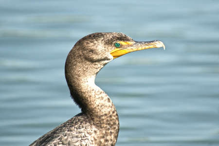Phot of double crested cormorant taken at Goldenwest Park in Huntington Beach, California Stock Photo - 13207335
