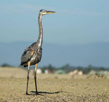 chica: Photo of great blue heron taken at Bolsa Chica Wetlands Ecological Reserve in Huntington Beach, California