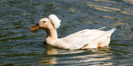water fowl: Photo of crested duck taken at Goldenwest Park in Huntington Beach, California