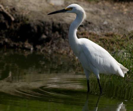 Photo of Snowy Egret taken in Huntington Beach, California Stock Photo - 13295974