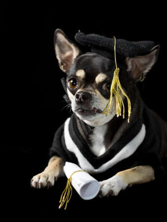 regalia: Cute chihuahua in cap and gown for graduation  On black background
