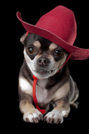 Cute chihuahua dressed in red cowboy hat isolated on black background