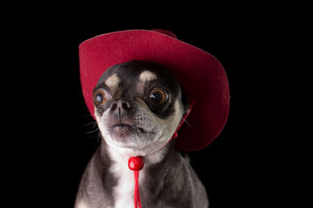 k 9: Cute chihuahua dressed in red cowboy hat isolated on black background
