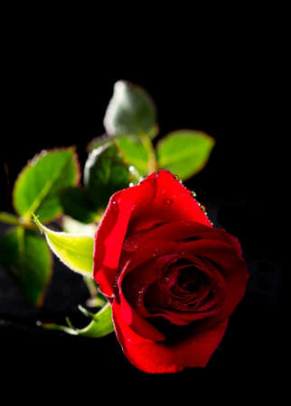 Single red rose with dew drops isolated on black background Stock Photo - 13554067