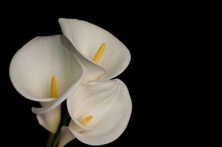 Three white calla lillies isolated on black background Stock Photo