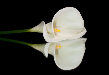 Single white calla lilly isolated on black background with reflection