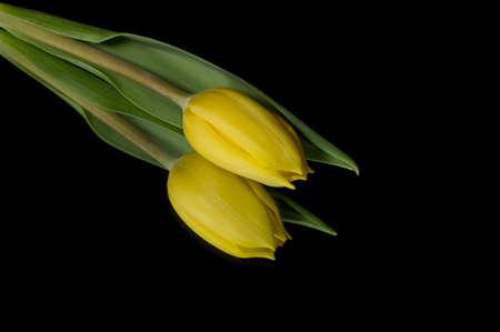 Yellow tulips isolated on black background Stock Photo
