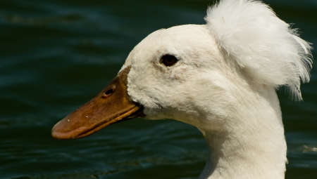 crested duck: Photo of crested duck taken at Goldenwest Park in Huntington Beach, California