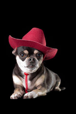 Cute chihuahua dressed in red cowboy hat isolated on black background photo