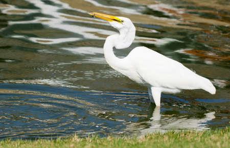 Photo of Great White Egret taken at Goldenwest Park in Huntington Beach, California photo