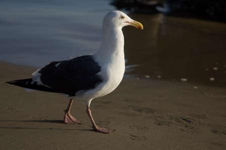 Profielmening van zeemeeuw die bij Huntington Beach Californië wordt genomen
