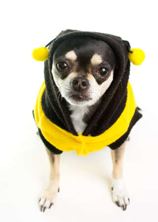 Cute Chihuahua dressed as Honey Bee on white background