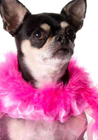 Cute chihuahua dressed in pink feathered boa photo