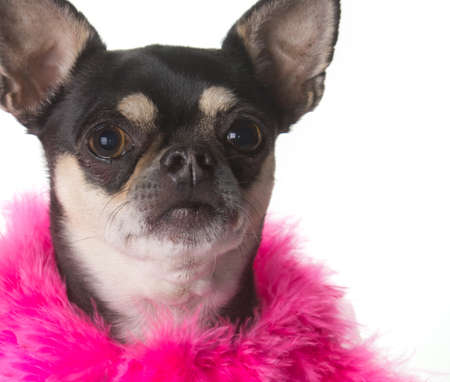 Cute chihuahua dressed in pink feathered boa Stock Photo - 13946999