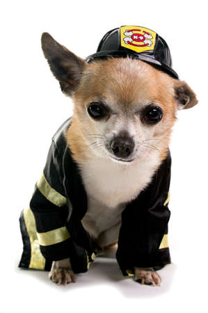 Cute Firefirghter Chihuahau on white background